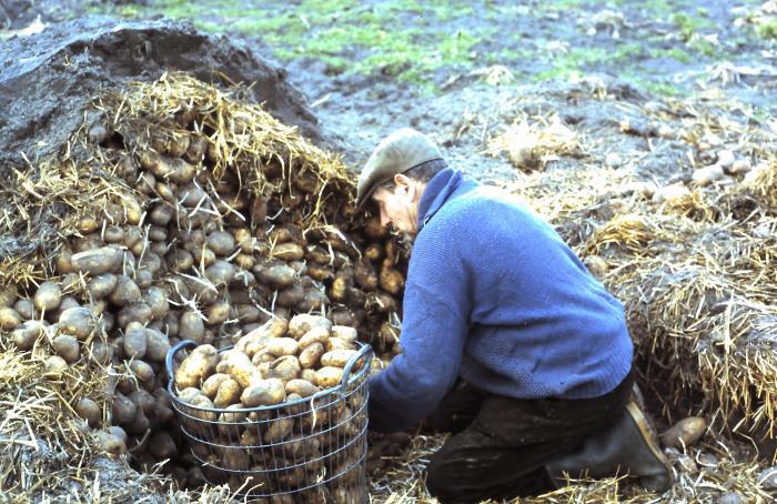 Aardappelen bewaren, Lembeke, jaren 1960