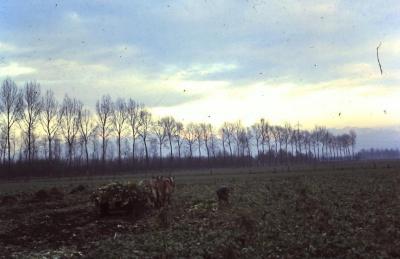 Bietenoogst op het veld, Waarschoot, jaren 1960