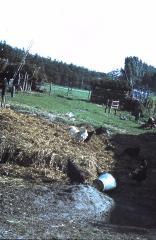 Kippen op de mesthoop, Lembeke, jaren 1960