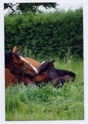 Geboorte van een veulen (3)