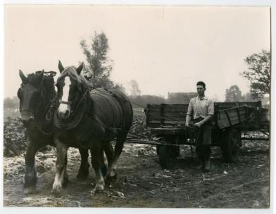 Bieten binnenhalen met paard en kar, Assenede