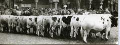 Stierenkeuring Brussel (?), 1965 (1)