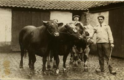 Winnend vee, Zomergem, 1920-1940